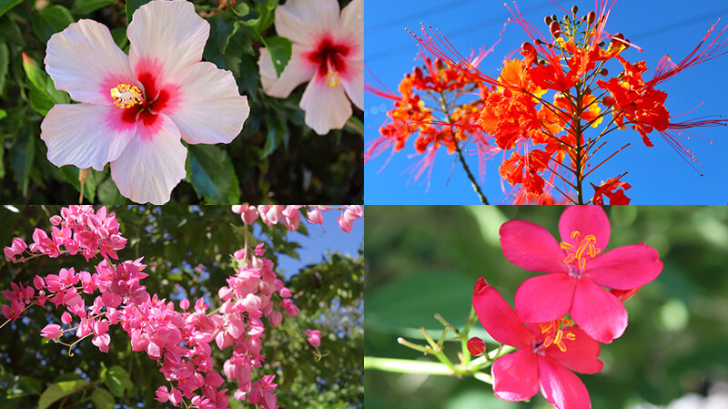 沖縄の八重山諸島、石垣島の離島、竹富島、南国の花、竹富島の花、観光、ツアー、水牛、星のや、民宿
